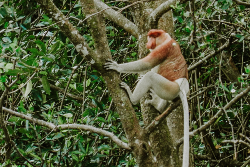 Proboscis_Monkey_River_Safari_Monkey